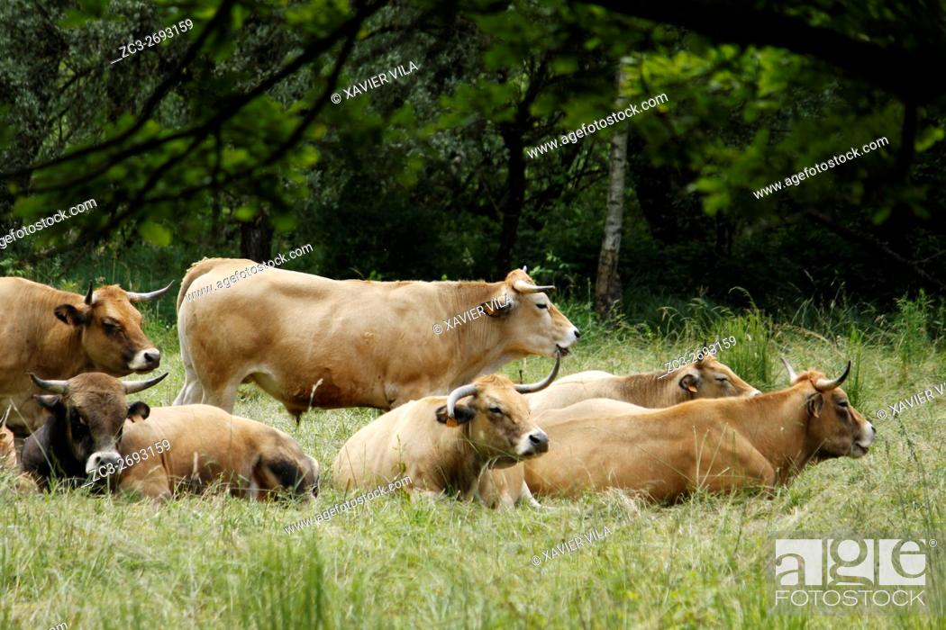 Stock Photo: Herd of Aubrac cows in a field, Weatland, Isere, Auvergne Rhone Alpes, Chartreuse, France, Europe.