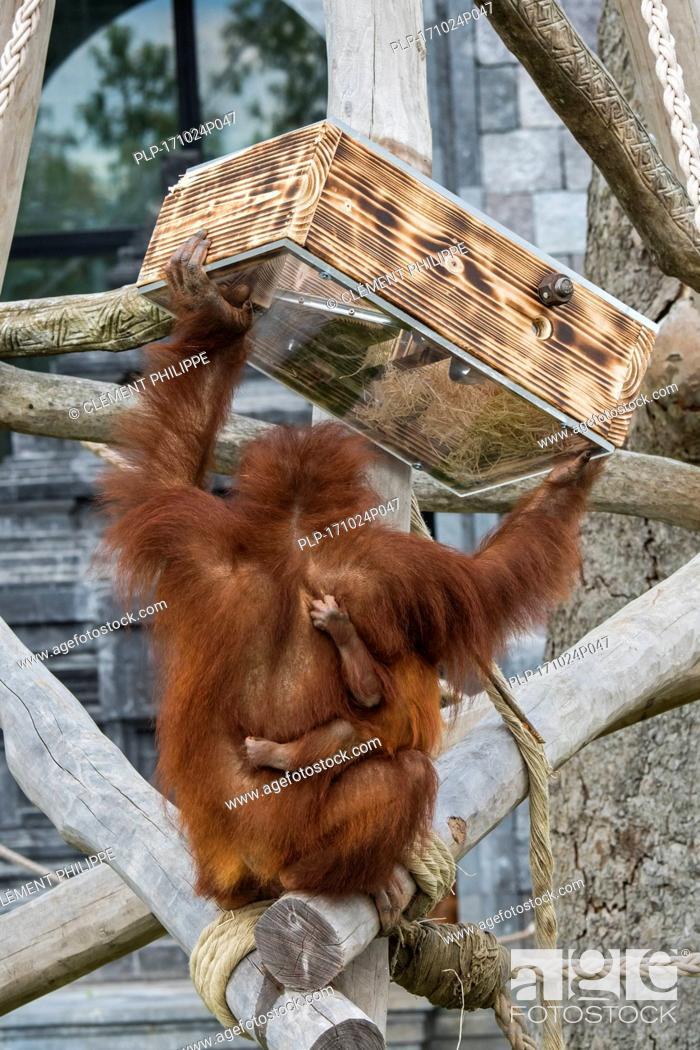 Stock Photo: Sumatran orangutan / orang-utan (Pongo abelii) female with baby eating nuts from feeding device in zoo / zoological garden.