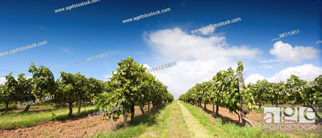 Stock Photo: A cognac vineyard in the Grande Champagne area, Saint Brice, Charente, France.