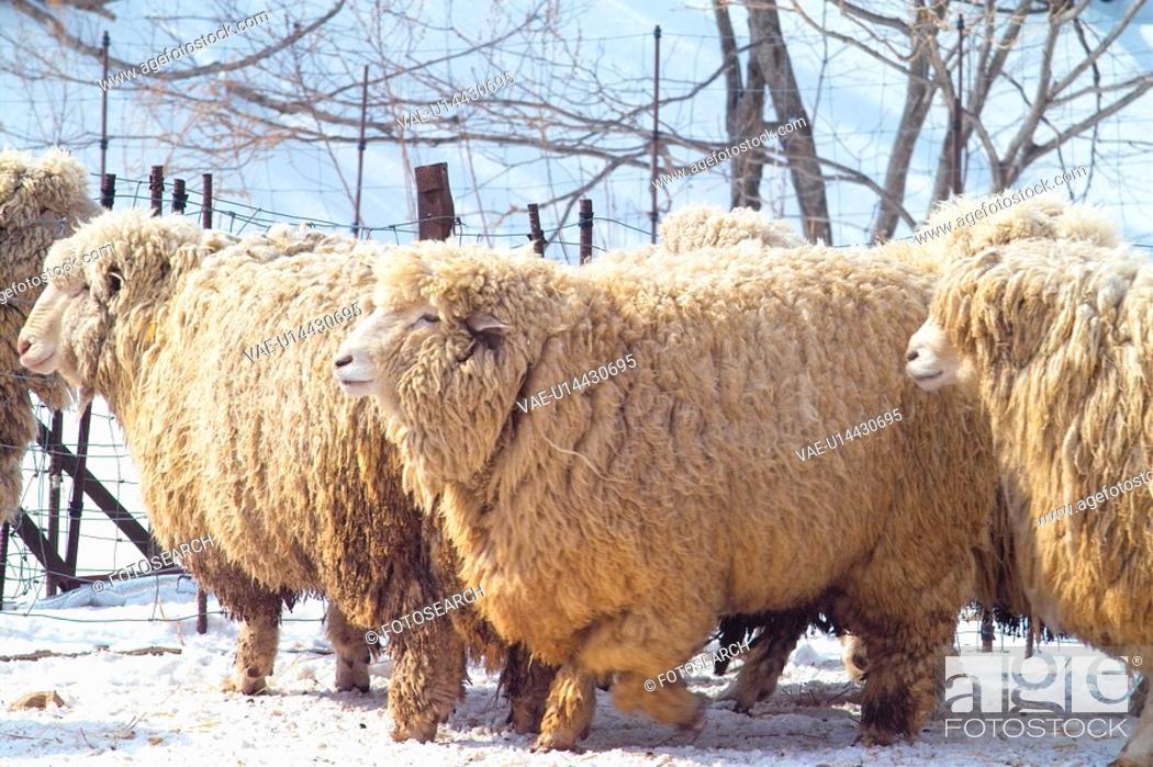 Stock Photo: seasons, sheep, fence, ranch, outdoors, winter, animal.