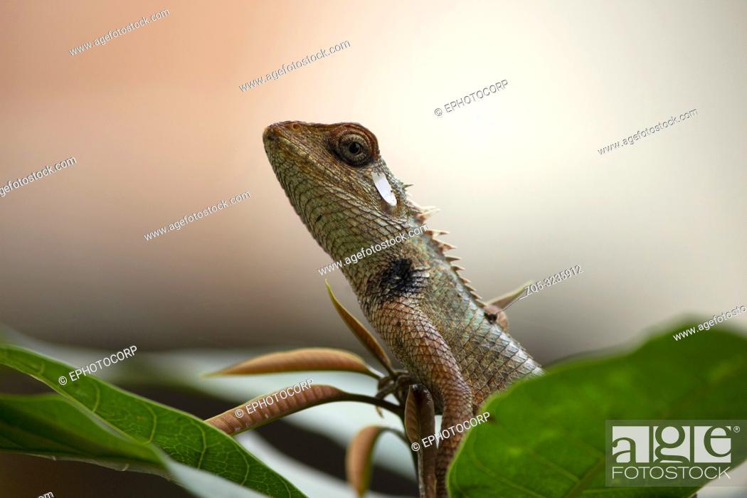 Imagen: Agama, the Indian chameleon, Maharashtra, India.