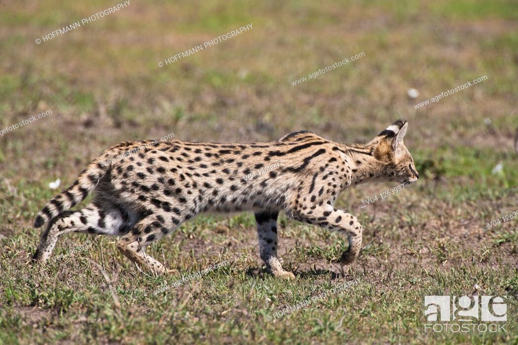 Stock Photo: Serval cat (Felis serval) stalking some prey in the Serengeti National Park in Tanzania, Africa.