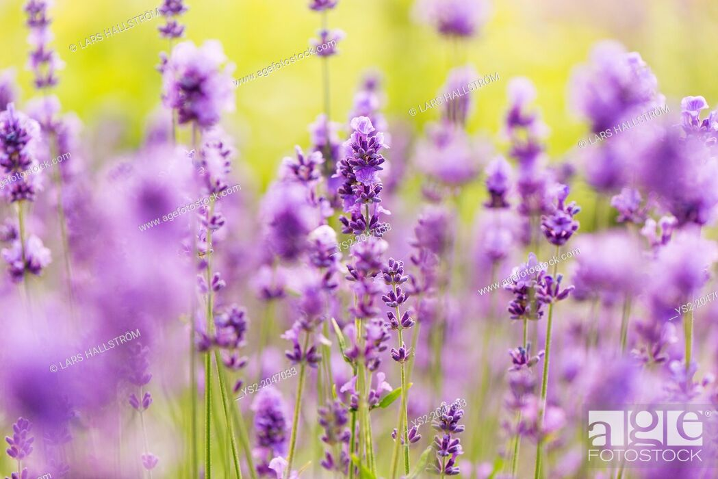 Stock Photo: Field of purple lavender flowers in summer.