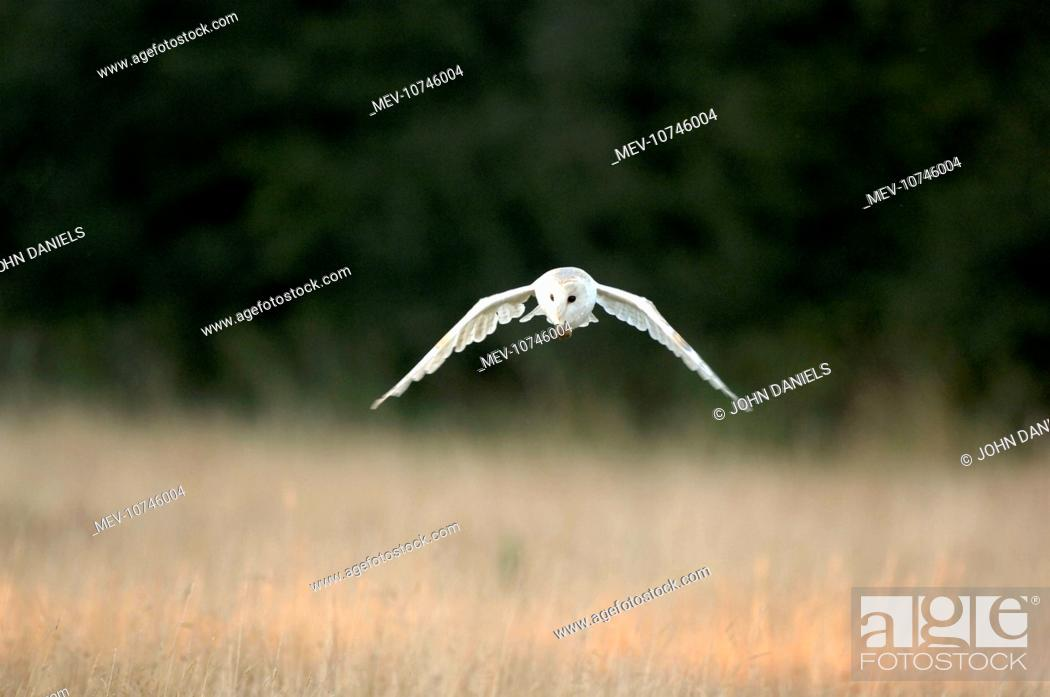 Stock Photo: Bird - Barn owl flying (Tyto Alba).
