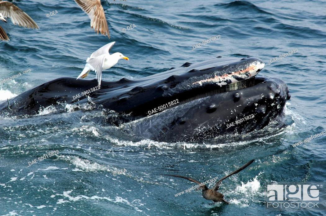 Stock Photo: Zoology - Cetacean - Whale - Humpback Whale (Megaptera novaeangliae). Gulls hover around the baleen whale to clean residues of fish and plankton.
