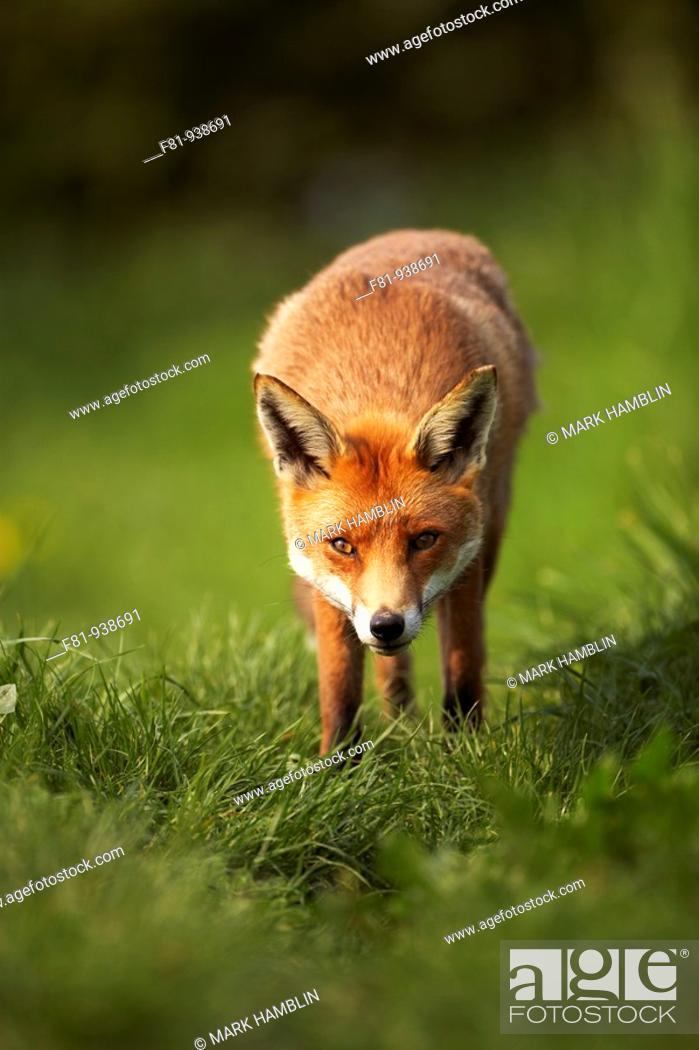 Stock Photo: Fox Vulpes vulpes portrait of adult taken in controlled conditions  UK  May.