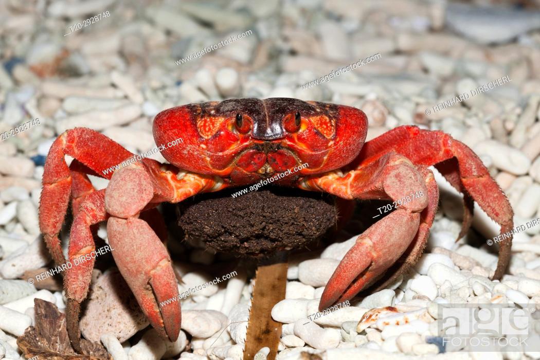 Christmas Island Red Crab With Eggs Gecarcoidea Natalis Christmas
