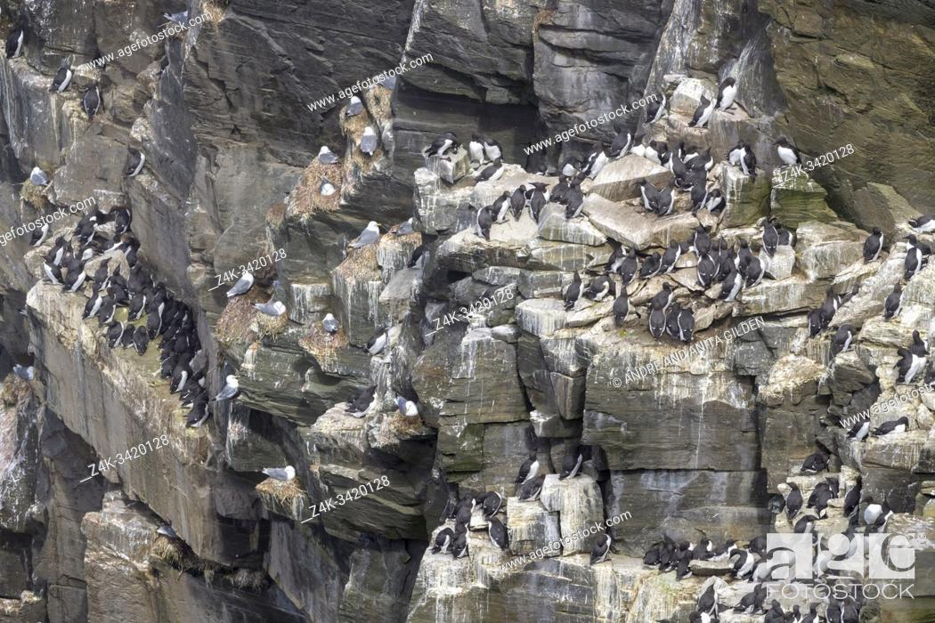 Imagen: Common murre (Uria aalge) bird breeding colony on cliff, Cape St. Mary's ecological reserve, Newfoundland, Canada.