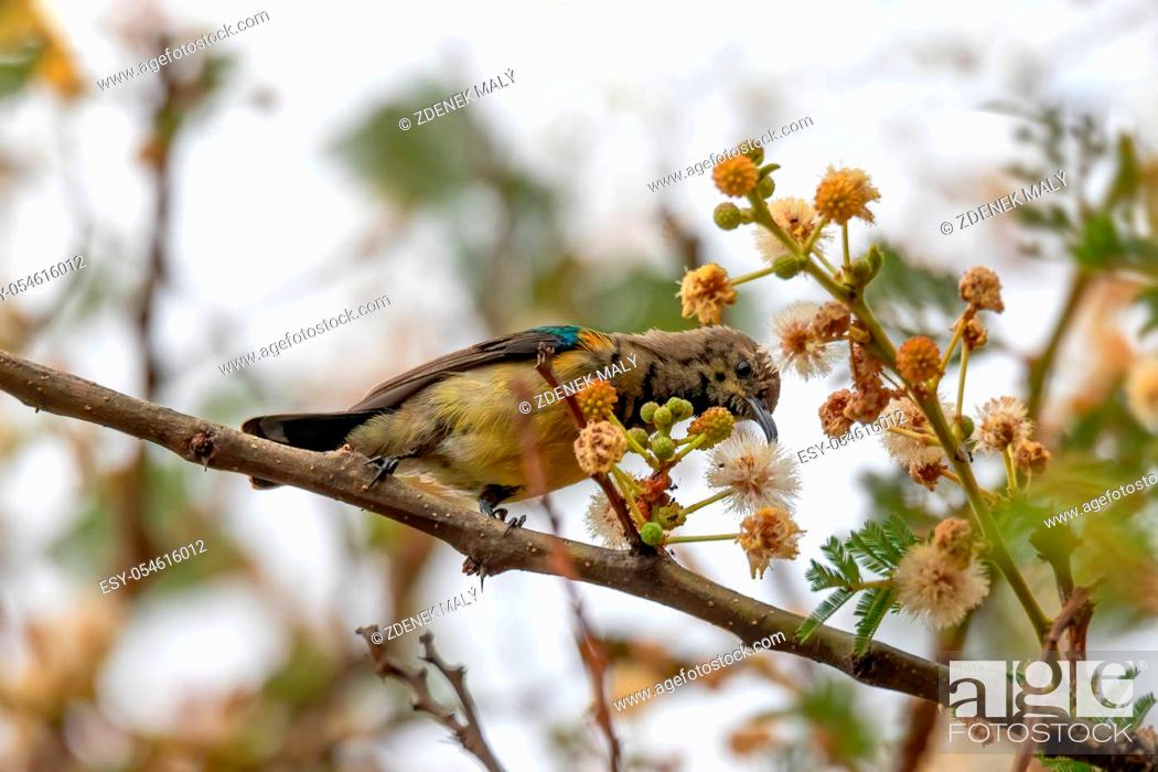 Stock Photo: bird variable sunbird or yellow-bellied sunbird, Cinnyris venustus (formerly Nectarinia venusta), is a sunbird. Wondo Genet, Ethiopia Africa safari wildlife.