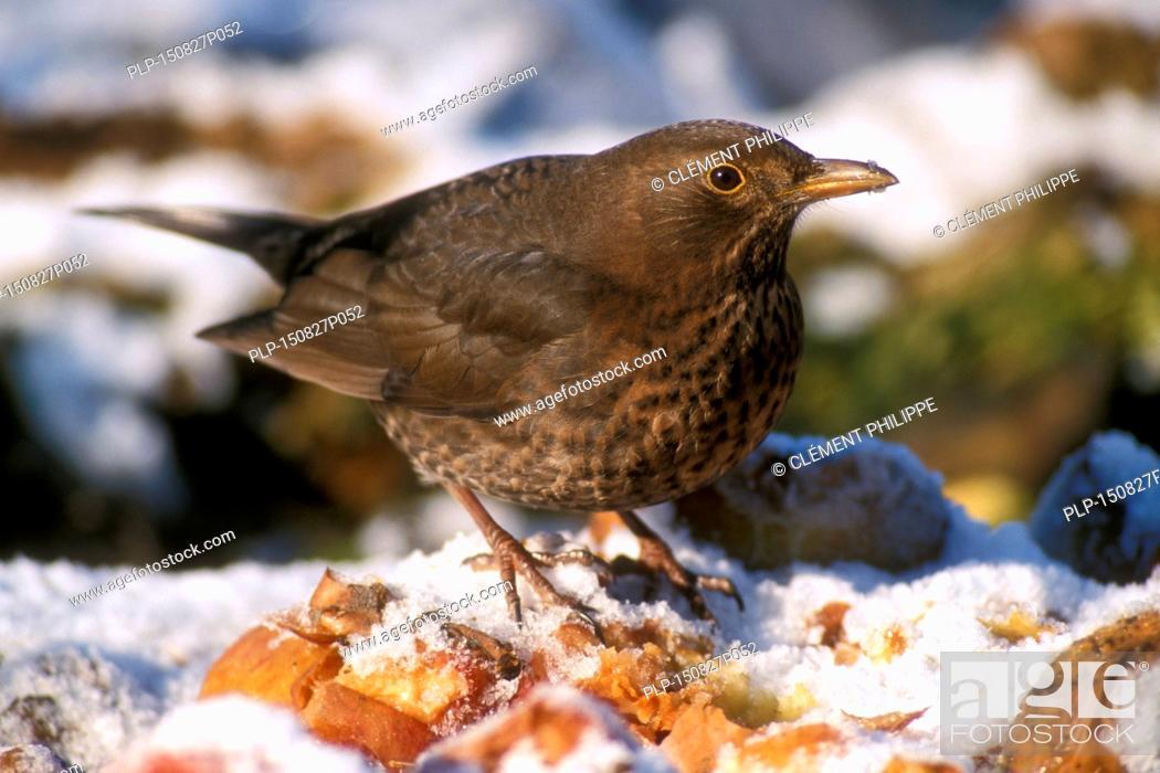 Stock Photo: Common Blackbird (Turdus merula) female eating fallen rotten apples in the snow in winter.