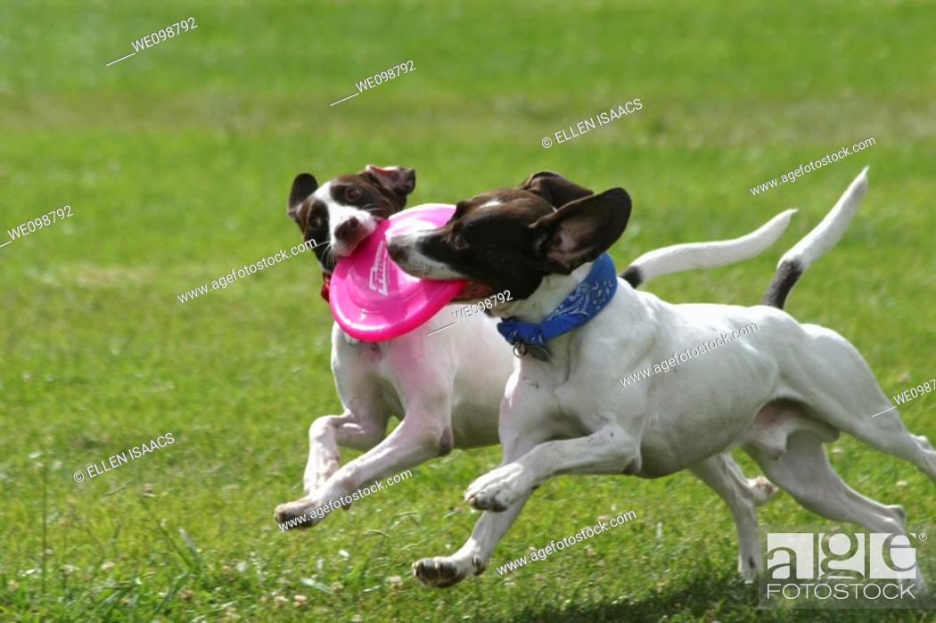 Stock Photo: Two identical dogs grabbing onto the same frisbee while running across a field symmetrically.