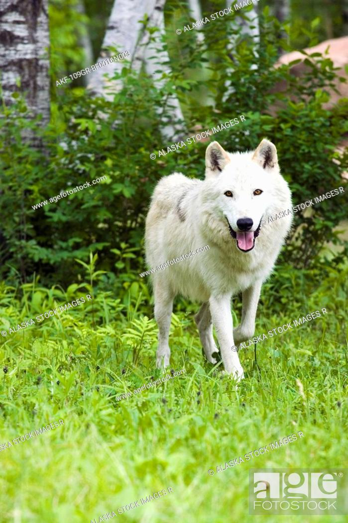 Stock Photo: Adult wolf in forest Minnesota Spring Captive.