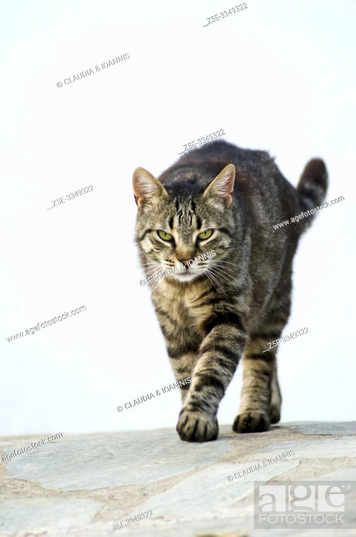 Imagen: A tabby cat is walking towards the camera against a white house wall.