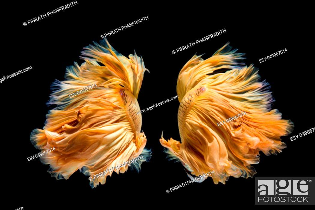 Stock Photo: Yellow gold betta fish, siamese fighting fish on black background.