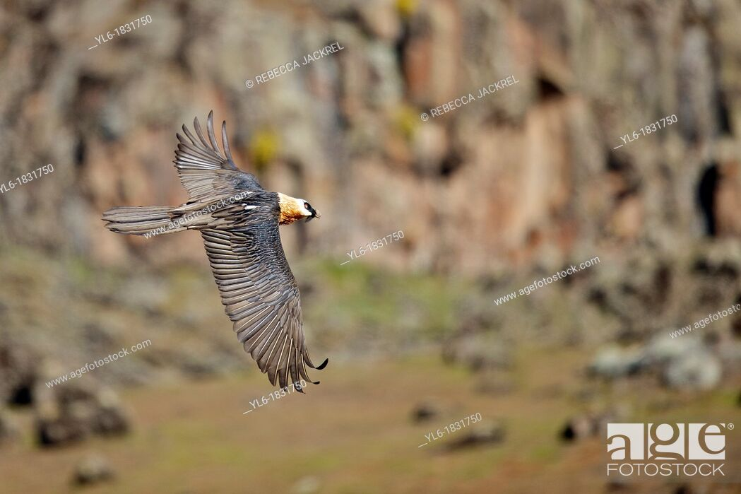 Stock Photo: An adult lammergeier flying in Ethiopia.