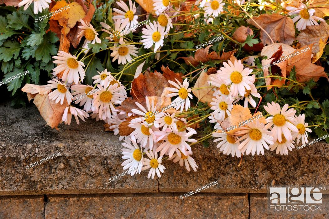Stock Photo: Fall mums and garden wall.