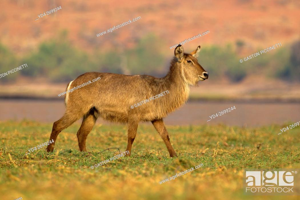 Stock Photo: Waterbuck (Kobus ellipsiprymnus), in the river, Chobe river, Chobe National Park, Botswana.