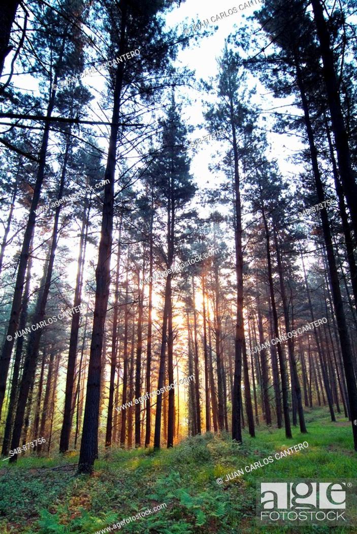 Stock Photo: Bosque de pinos al amanecer en Mallabia. Vizcaya. Pais Vasco.