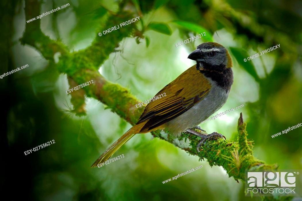 Stock Photo: Exotic bird. Buff-throated Saltator, Saltator maximus, sitting o.