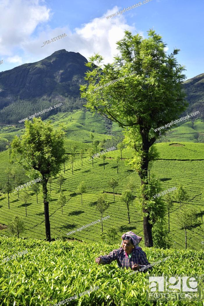 Imagen: India, Kerala, Munnar, Tea plantations.