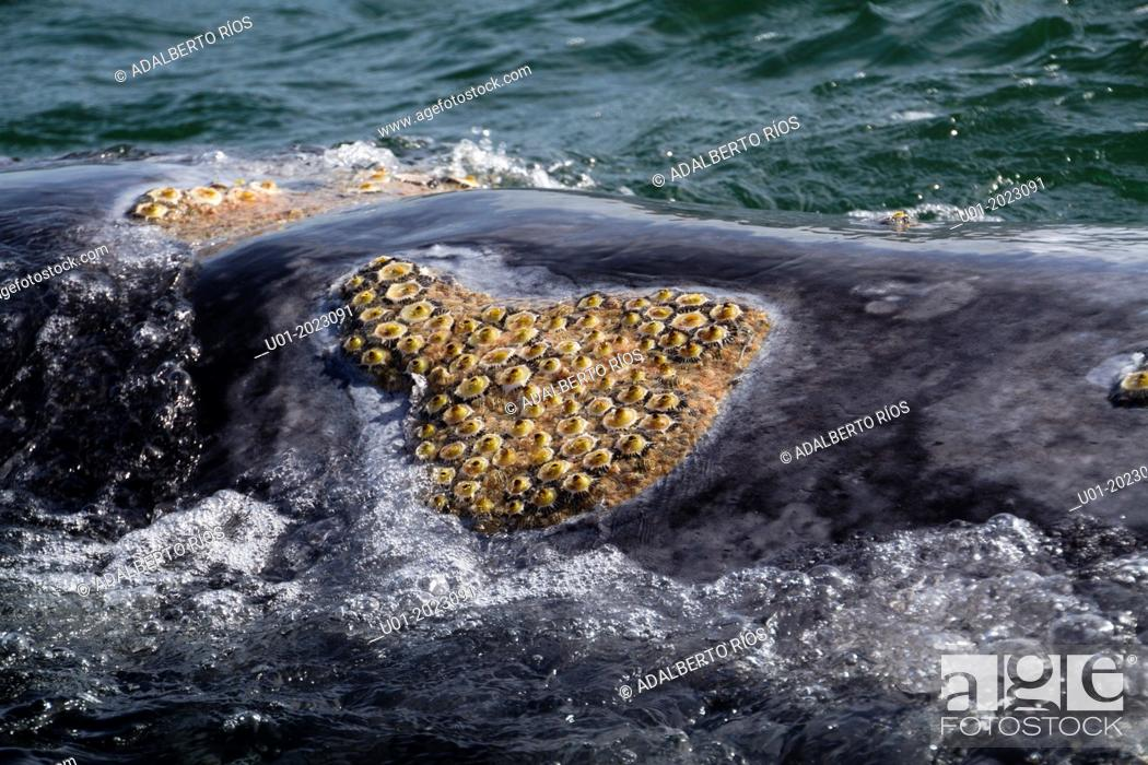 Stock Photo: The skin of adult gray whales usually have parasites or lice, as well as barnacles, crustaceans, traveling feeding on organisms in the water.