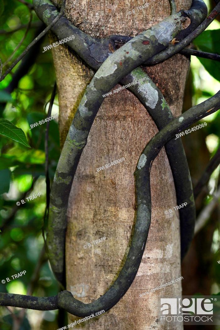 Stock Photo: climber plant in the tropical rainforest, Madagascar, Nosy Be, Lokobe Reserva.