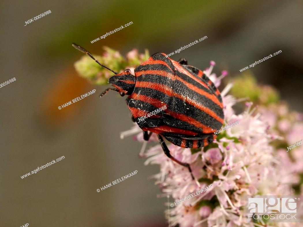 Imagen: Red And Black Striped Stink Bug (Graphosoma lineatum) climbing over an unidenfied flower, France.