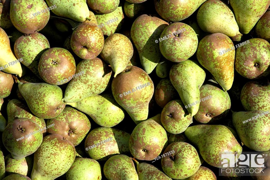 Stock Photo: Pears Conference  LLeida  Spain.