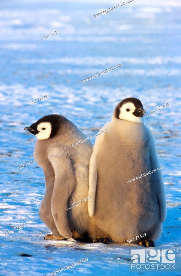 Stock Photo: aptenodytes forsteri / emperor penguin - 2 cubs.