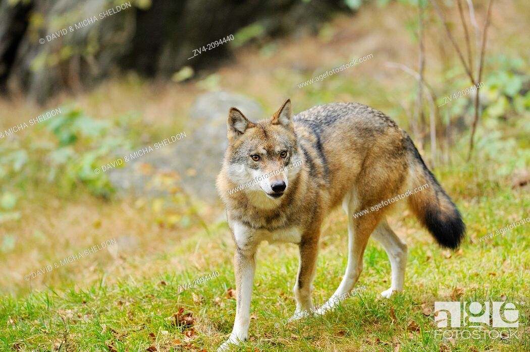 Stock Photo: Close-up of a Eurasian wolf (Canis lupus lupus) in the Bavarian Forest, Germany.