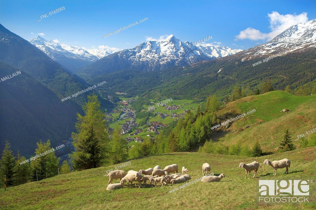 Stock Photo: Flock of sheep in Oetztal Alps, Tyrol, Austria.
