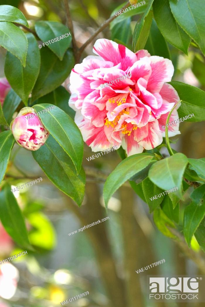 Stock Photo: Camellia.