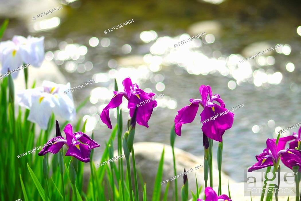 Stock Photo: Japanese Iris.