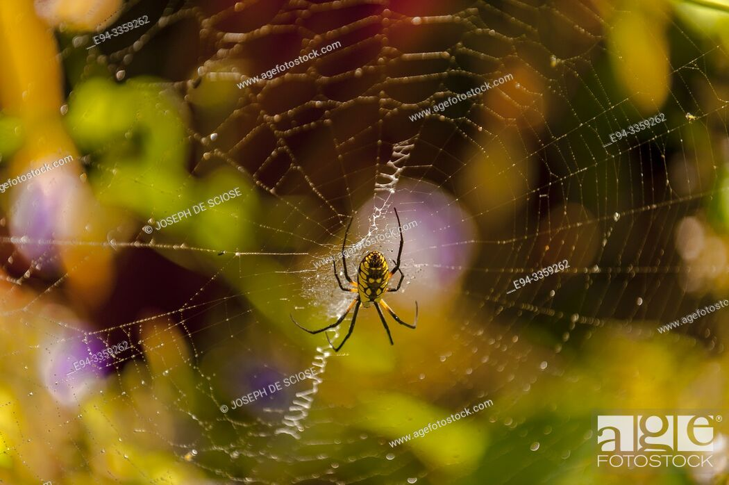 Stock Photo: Black and Yellow garden spider in a web.