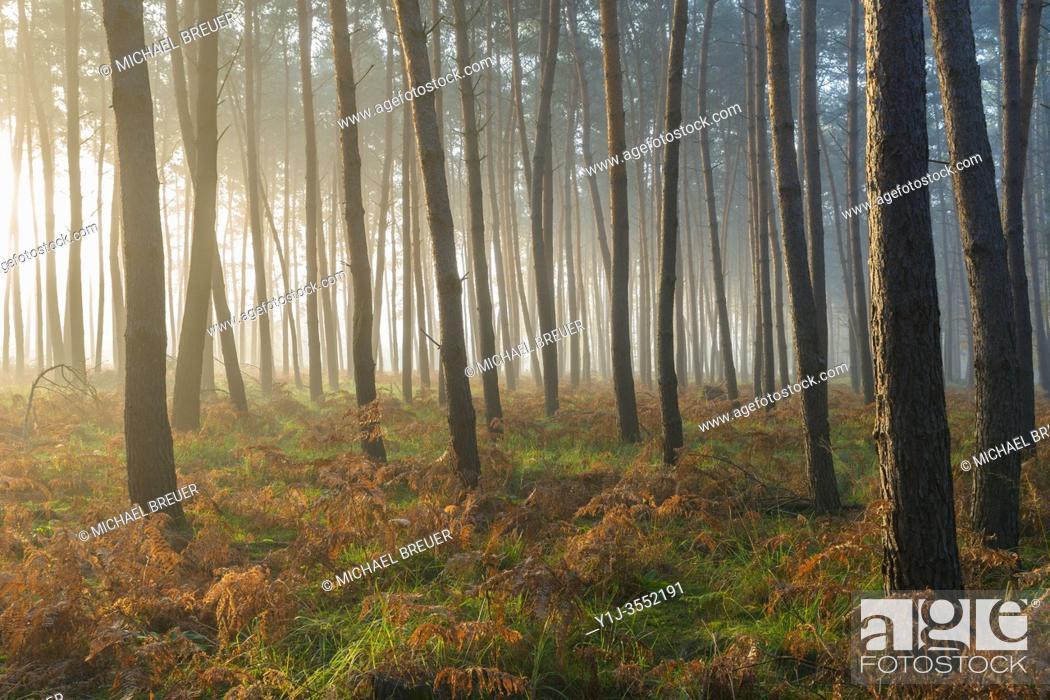 Stock Photo: Pine Forest on misty morning at sunrise, Hesse, Germany, Europe.