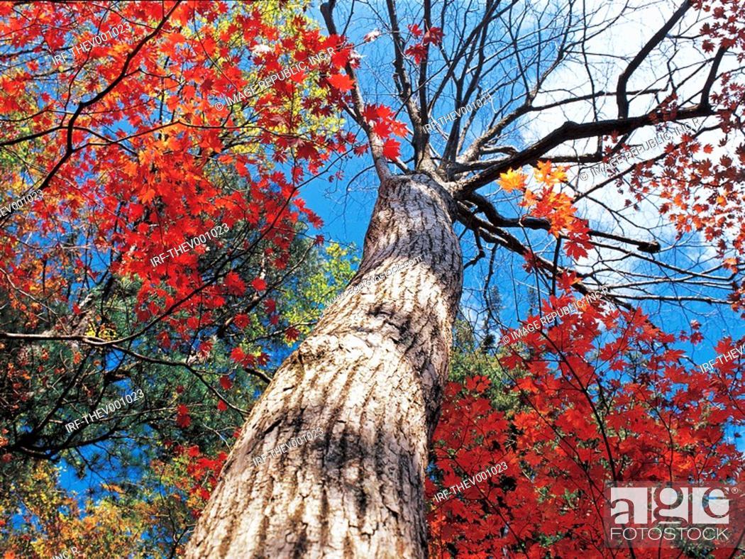 Stock Photo: maple tree.