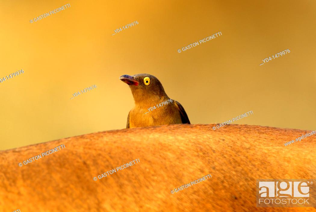 Stock Photo: Red-billed Oxpecker Buphagus erythrorhynchus, on the Impala Antidorcas melampus, Kruger National Park, South Africa.