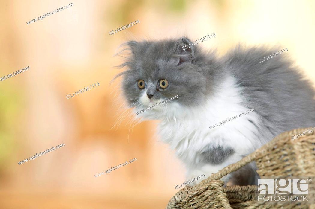 Stock Photo: Persian Cat. Kitten sitting on a basket. Germany.