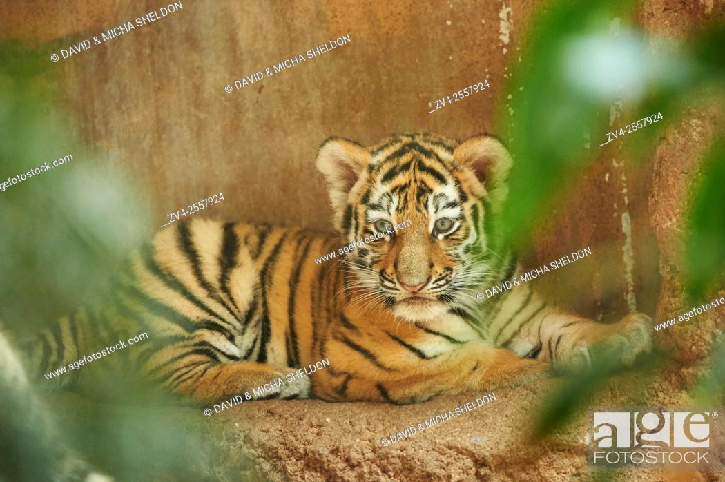 Stock Photo: Close-up of a Siberian tiger cub (Panthera tigris altaica) in late summer.