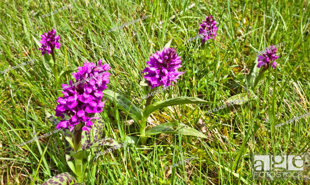 Stock Photo: broad-leaved marsh orchid.