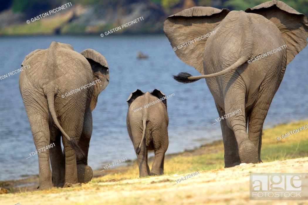 Imagen: African Elephants (Loxodonta africana), in the river, Chobe National Park, Botswana.