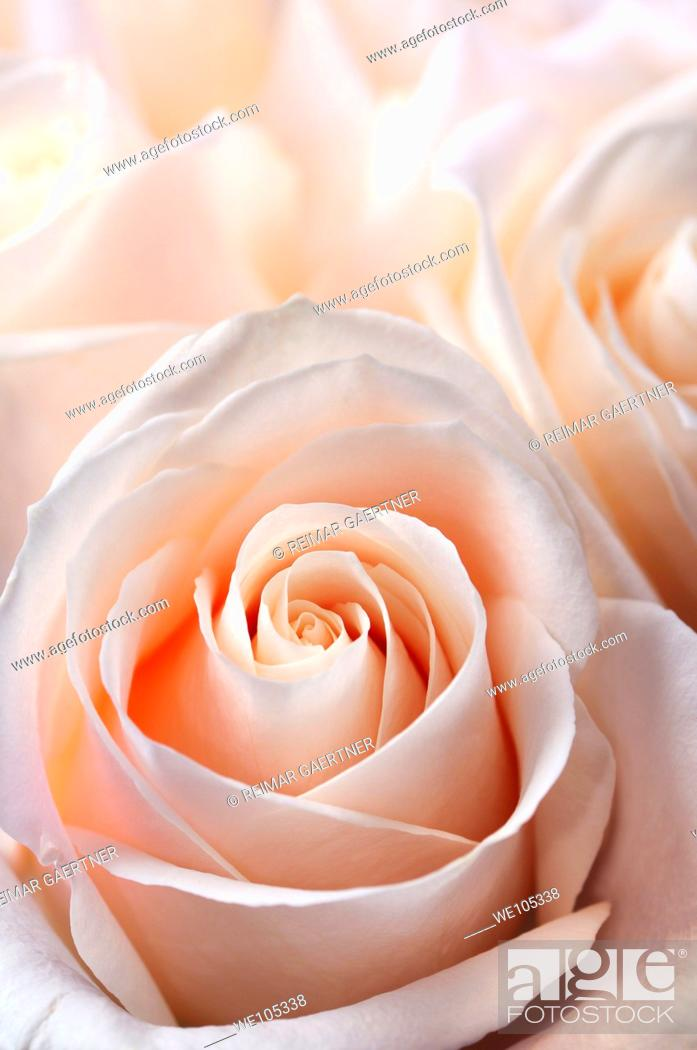 Stock Photo: Close up of a bunch of fresh pink white hybrid tea roses.