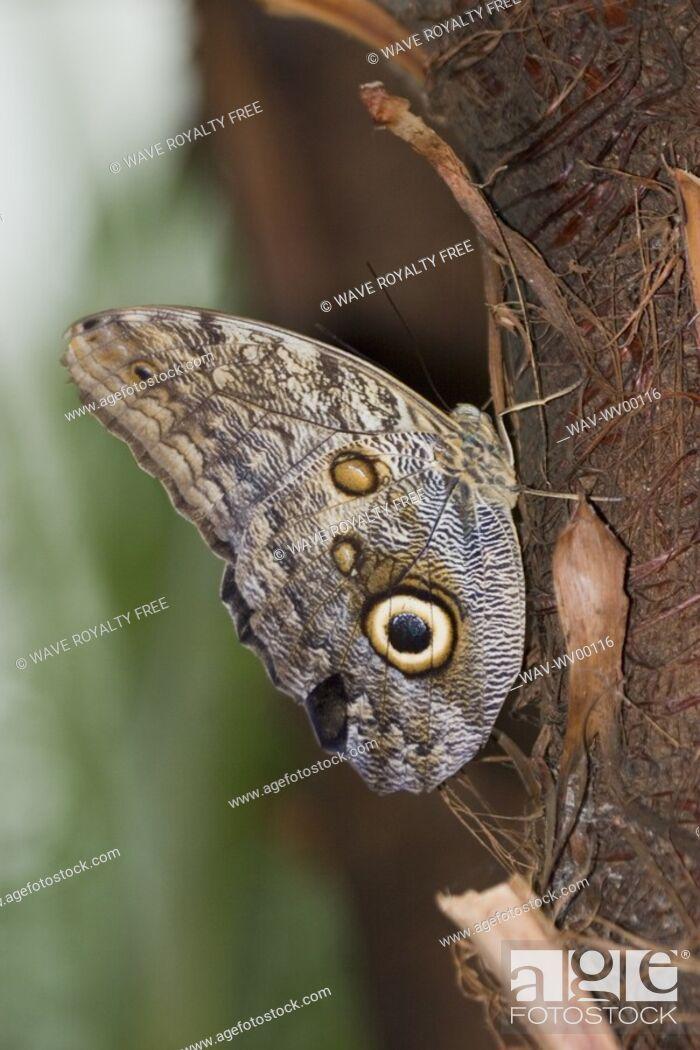 Stock Photo: Owl butterfly Caligo idomeneus resting on trunk, Niagara Butterfly Conservatory, Niagara Falls, Ontario, Canada.