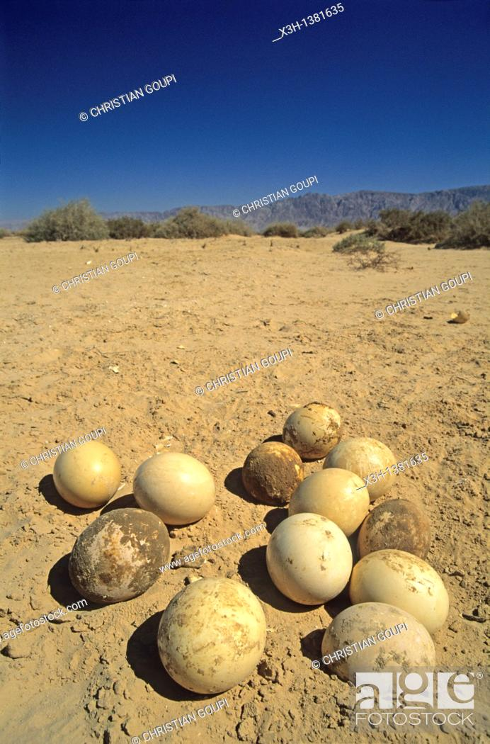 Stock Photo: eggs of ostrich, Hai-Bar Yotvata Reserve, Arava Valley, Negev, Israel, Middle East, Western Asia.