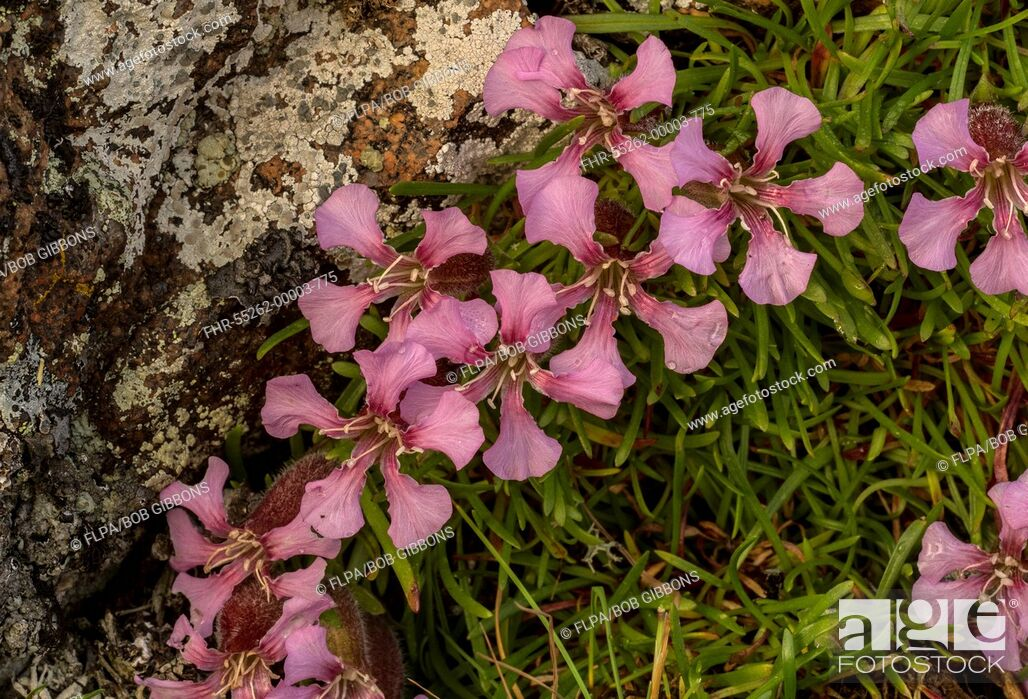 Stock Photo: Dwarf Soapwort (Saponaria pumilio) flowering, growing on acid porphyrite rock, Italian Alps, Italy, July.