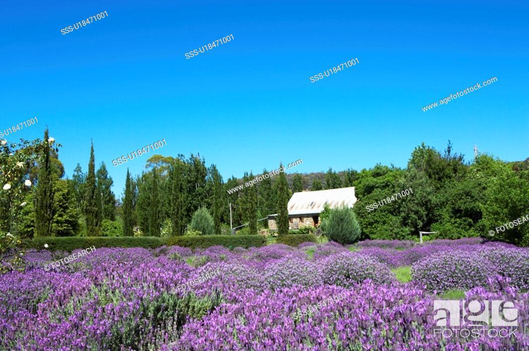 Stock Photo: Lavender Farm in Daylesford, Australia.