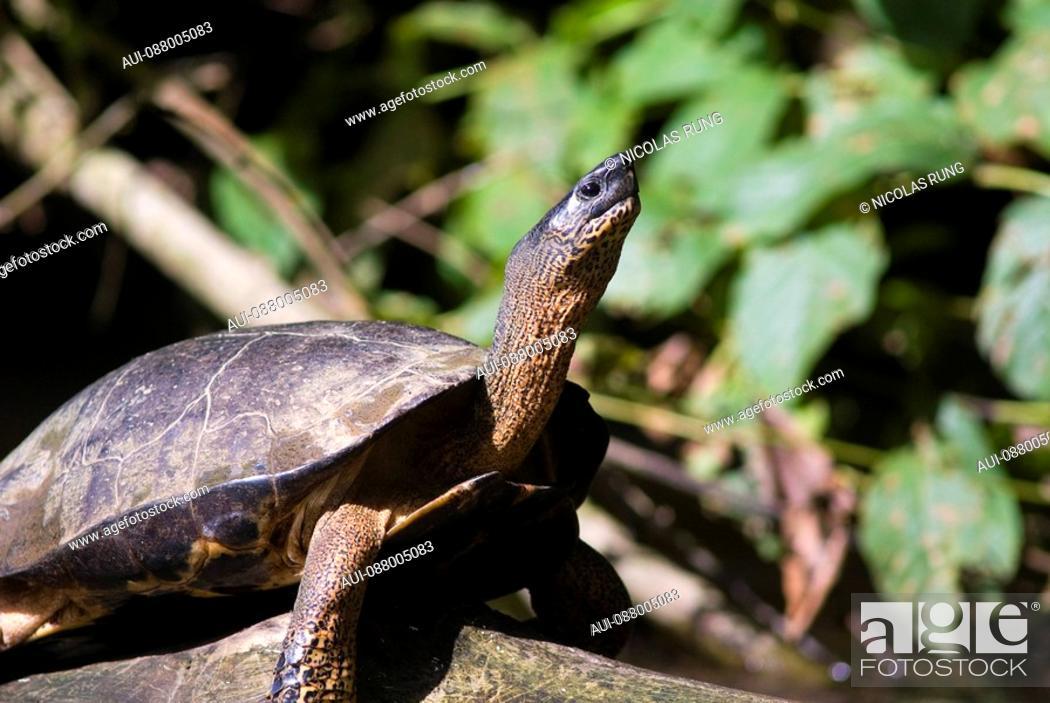 Stock Photo: Black river turtle - Tortuguero.