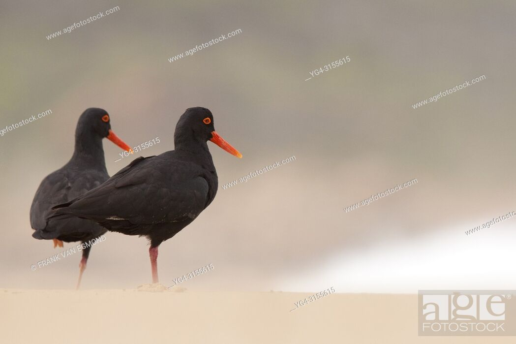 Stock Photo: African Oyster Catcher (Haematopus moquini), Robberg Nature Reserve, South Africa.