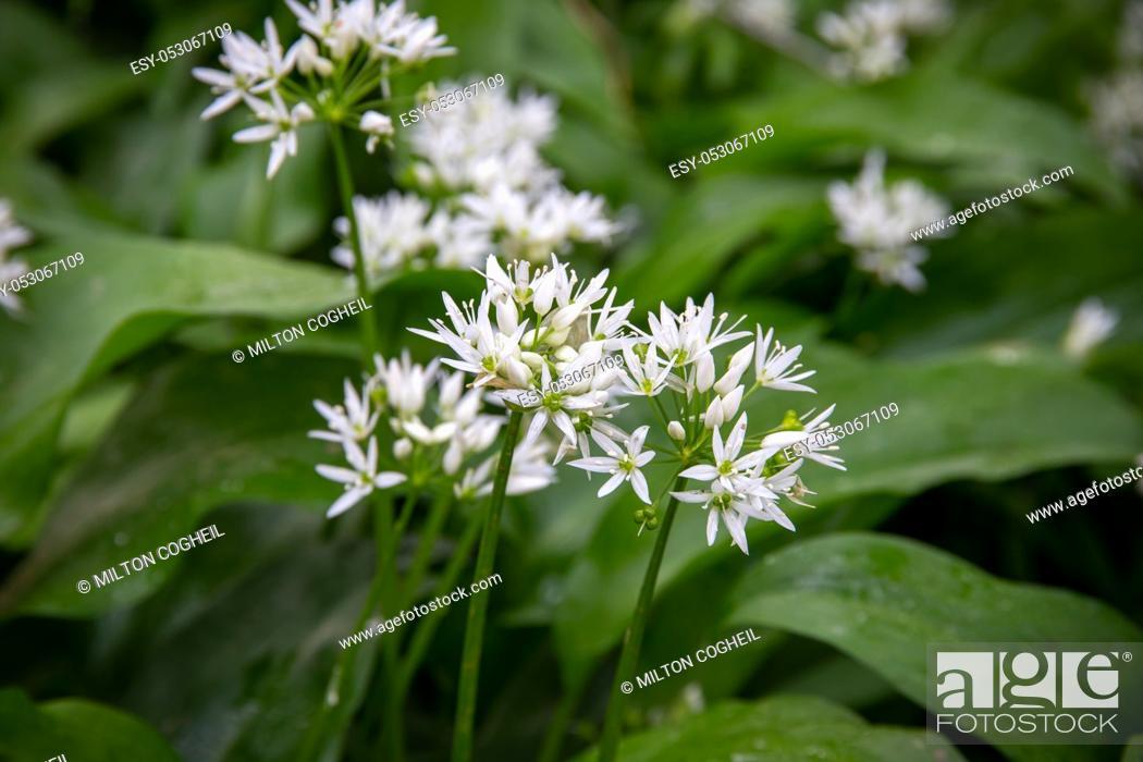 Stock Photo: Wild Garlic flowers (Allium ursinum) in a UK forest.