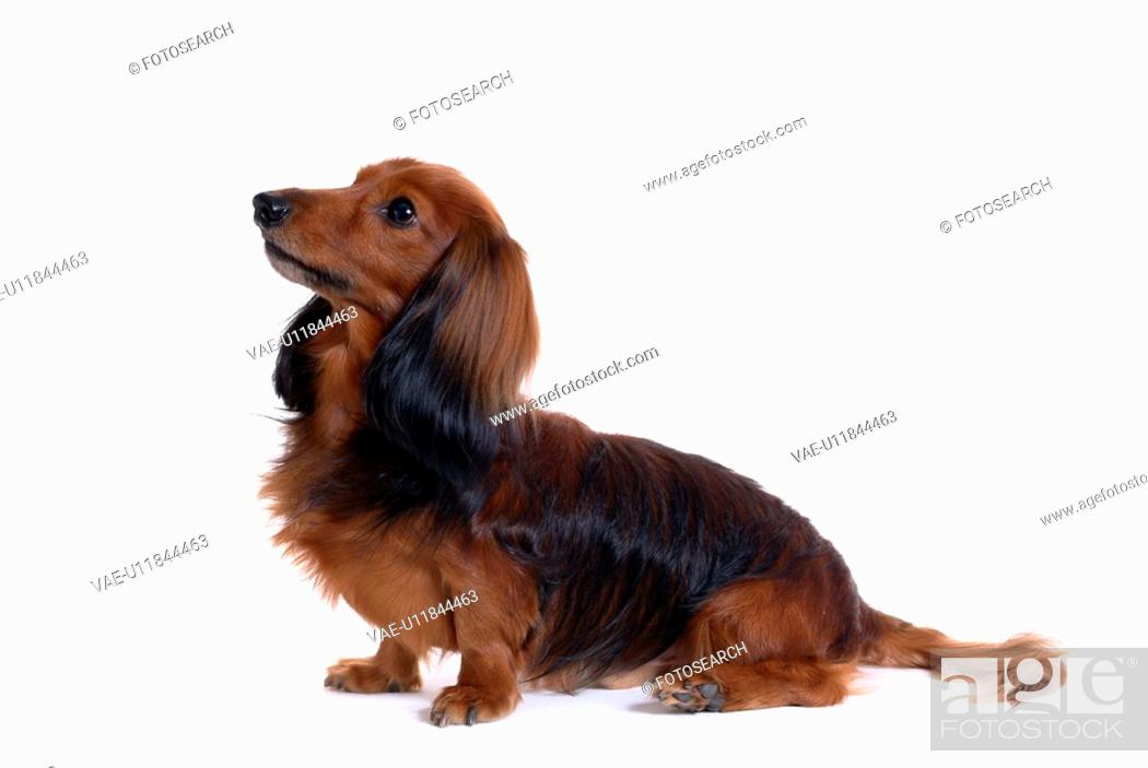 Stock Photo: canine, domestic animal, closeup, close up, looking up, dachshund.